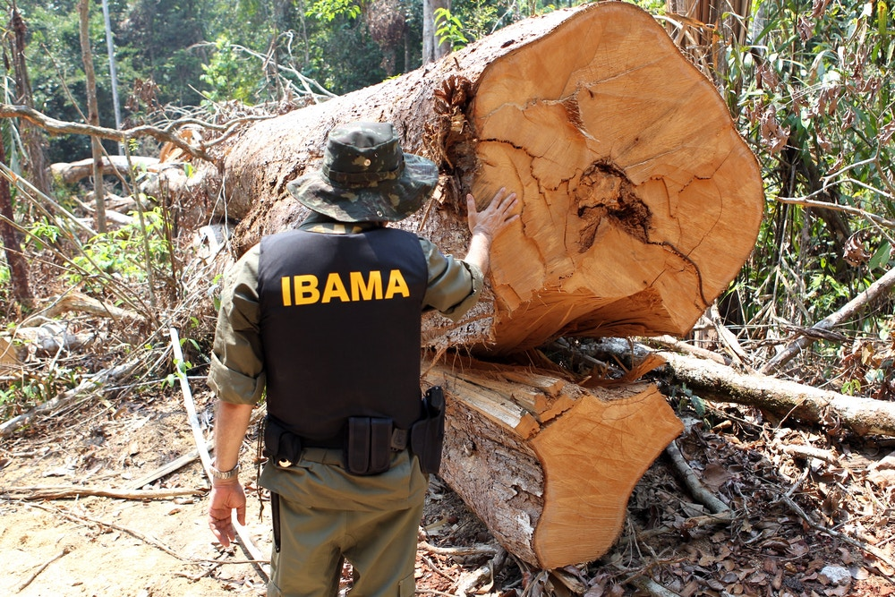 Ibama-offical-looking-at-tree-felled-by-AJ-Vilela-gang-1490135577