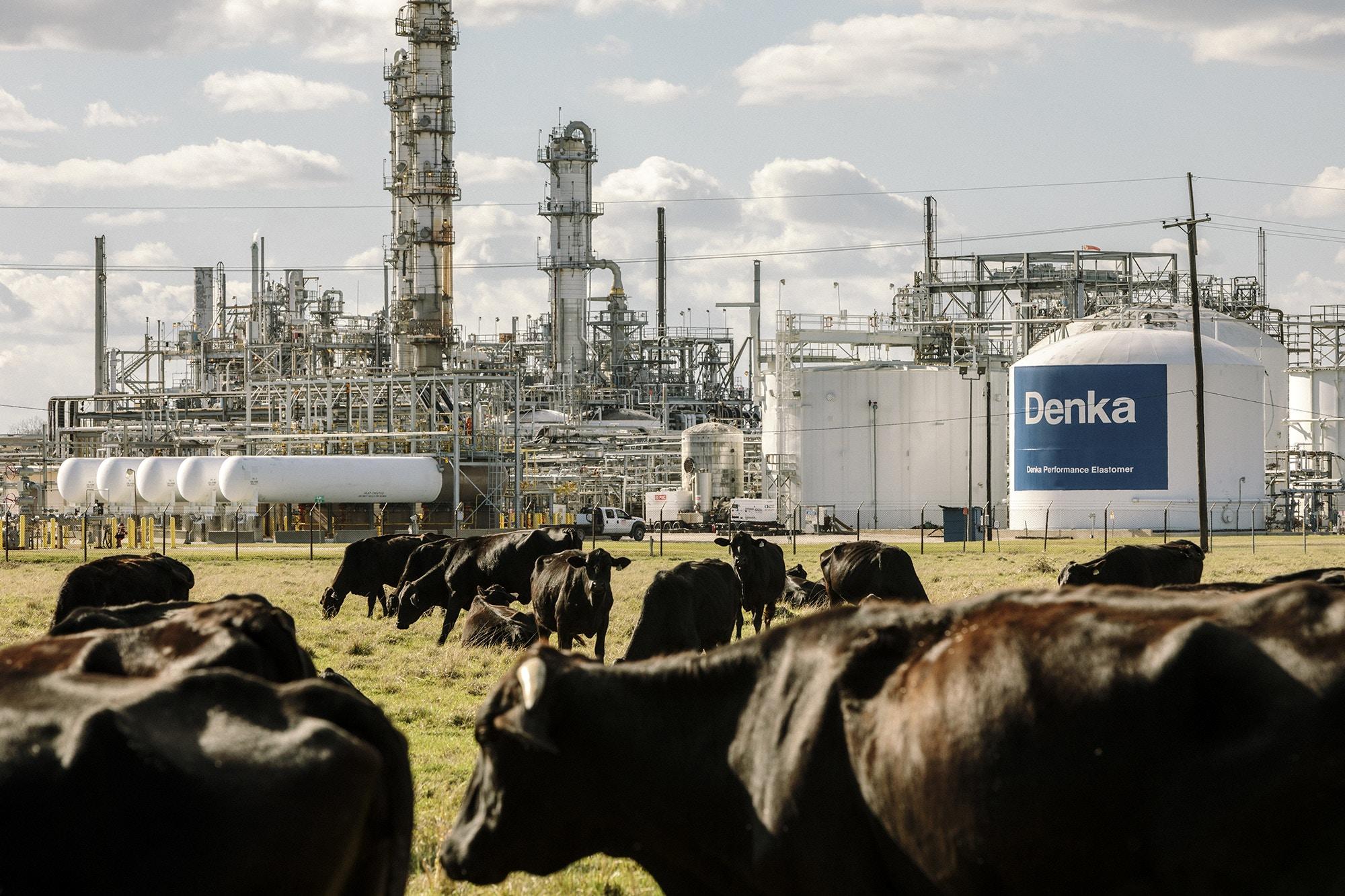 Reserve, LA - Feb 24, 2017 - Cows graze on land bordering the Dupont/Denka plant.