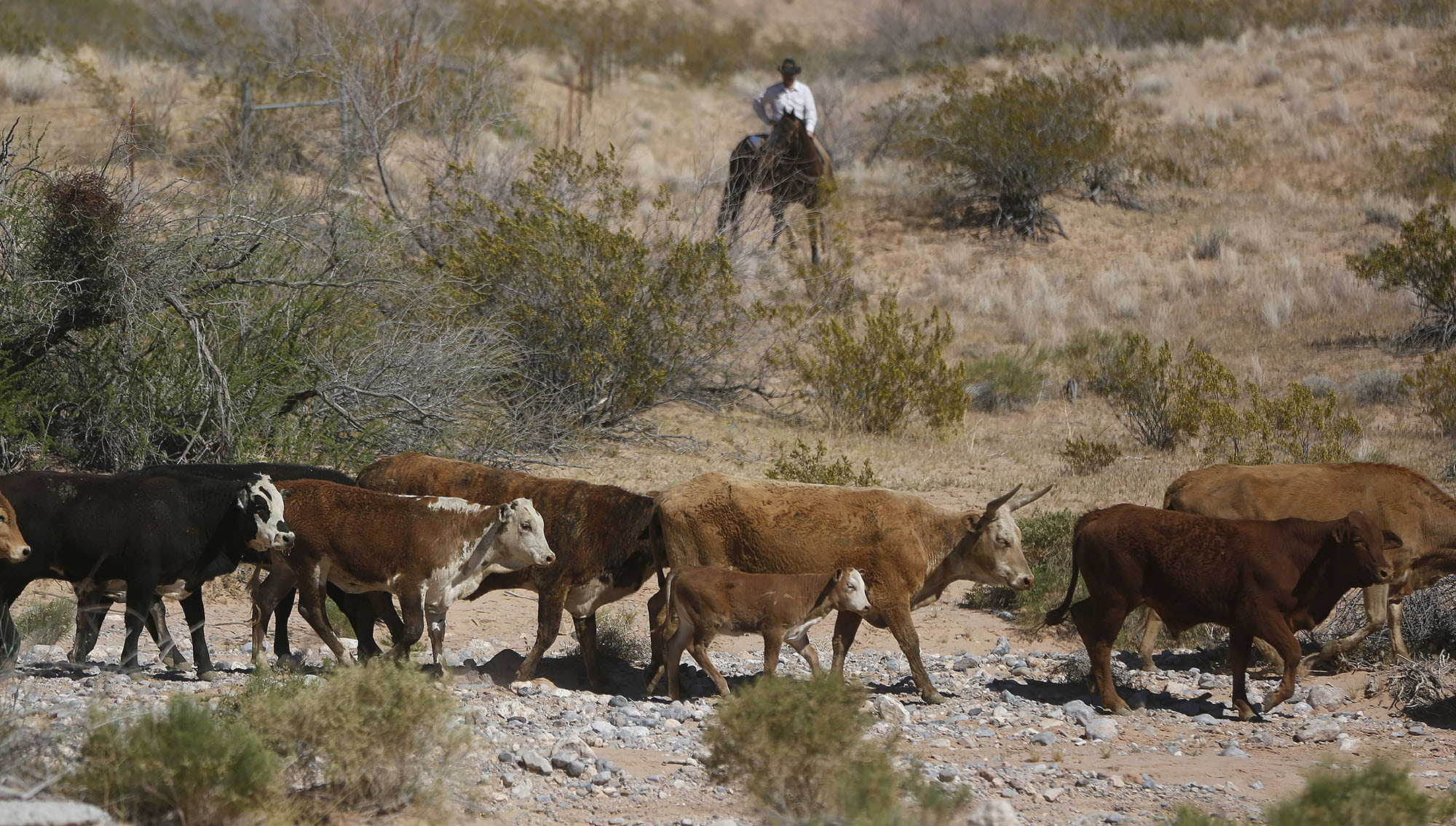 Cattle that belongs to rancher Cliven Bundy are released near Bunkerville, Nevada April 12, 2014. U.S. officials ended a stand-off with hundreds of armed protesters in the Nevada desert on Saturday, calling off the government's roundup of cattle it said were illegally grazing on federal land and giving about 300 animals back to rancher Bundy who owned them. REUTERS/Jim Urquhart   (UNITED STATES - Tags: POLITICS ANIMALS BUSINESS CRIME LAW CIVIL UNREST) - RTR3L0IV