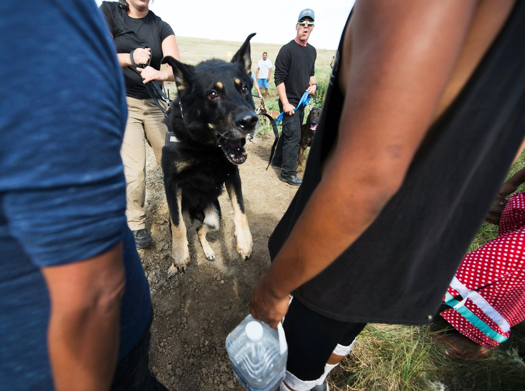 CORRECTION - Private security guards allow attack dogs to lung at a protestors after protestors arrived to stop bulldozing of land for the Dakota Access Pipeline (DAPL), near Cannon Ball, North Dakota, September 3, 2016. Hundreds of Native American protestors and their supporters, who fear the Dakota Access Pipeline will polluted their water, forced construction workers and security forces to retreat and work to stop. / AFP / Robyn BECK / The erroneous mention appearing in the metadata of this photo by Robyn BECK has been modified in AFP systems in the following manner: [Private security guards allow attack dogs to lung at a protestors after protestors arrived to stop bulldozing of land for the Dakota Access Pipeline (DAPL), near Cannon Ball, North Dakota, September 3, 2016.] instead of [A protestor is treated after being pepper sprayed by private security contractors on land being graded for the Dakota Access Pipeline (DAPL) oil pipeline, near Cannon Ball, North Dakota, September 3, 2016.] Please immediately remove the erroneous mention from all your online services and delete it from your servers. If you have been authorized by AFP to distribute it to third parties, please ensure that the same actions are carried out by them. Failure to promptly comply with these instructions will entail liability on your part for any continued or post notification usage. Therefore we thank you very much for all your attention and prompt action. We are sorry for the inconvenience this notification may cause and remain at your disposal for any further information you may require. (Photo credit should read ROBYN BECK/AFP/Getty Images)