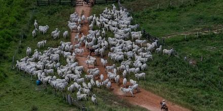 CUMARU DO NORTE, PA, 21.03.2017: OPERAÇÃO-PA -  Gados na fazenda Nossa Senhora do Carmo, que esta em área embargada por desmatamento ilegal, em Cumaru do Norte, no interior do Pará. A fazenda foi embargada 28.10.2008 pelo Ibama. Em operação de combate ao desmatamento na Amazônia, o Ibama (Instituto Brasileiro do Meio Ambiente e dos Recursos Renováveis) embargou nesta semana dois frigoríficos da JBS e outras 13 empresas acusadas de comprar gado oriundo de áreas de desmate ilegal. Batizada de Carne Fria, a ação é resultado de uma investigação iniciada há três anos e não tem relação com a ação da Polícia Federal contra fraudes em frigoríficos, desatada na semana passada. Segundo o órgão ambiental, a JBS e outros frigoríficos nos Estados do Pará e de Tocantins desrespeitaram Termos de Ajuste de Conduta (TAC) assinados após negociação com o Ministério Público Federal, pelos quais essas empresas se haviam comprometido a não comprar gado de propriedades rurais com áreas embargadas por desmatamento ilegal. (Foto: Eduardo Anizelli/Folhapress)