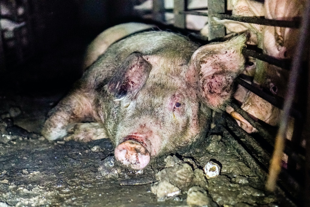 Smithfield-Circle-Four-Farms-piglets-pigs-factory-pig-aminal-cruelty-abuse-03-1506966729