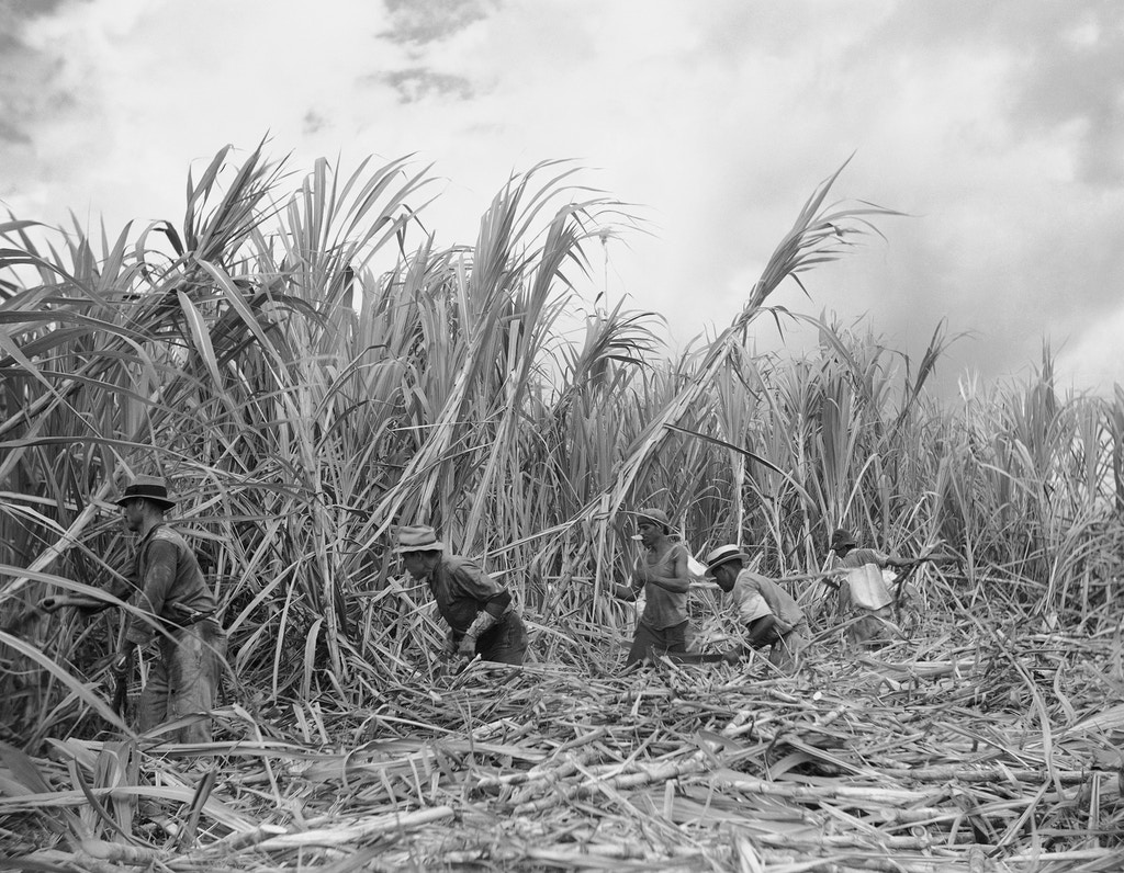 Eighty thousand Puerto Ricans, of the 2,000,00 on the island, are cane cutters, shown here on Feb. 2, 1942. These men, who currently earn $1.51 a day, are beginning the harvest, which runs from December to June. They attack stalks of sugar cane with razor edge machetes. Sugar cane grows 10 feet high. (AP Photo)