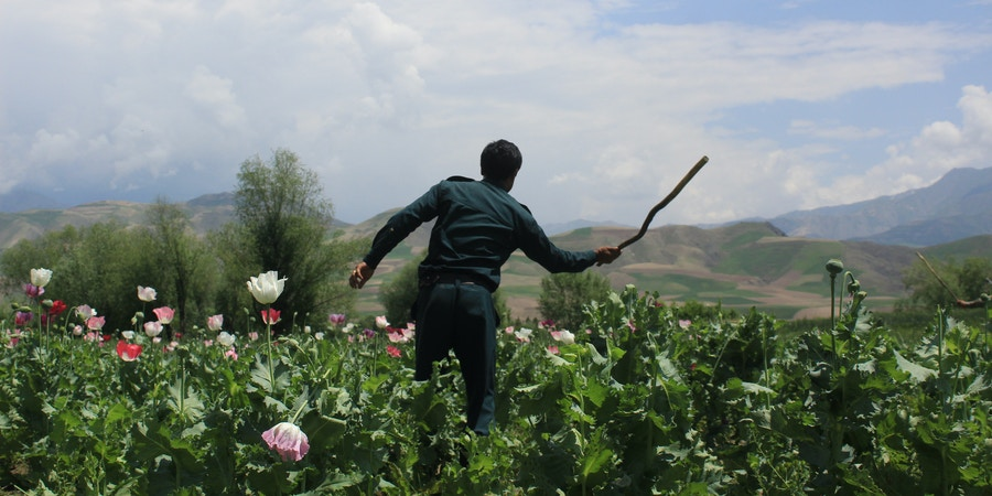 Afghan policemen destroy poppy fields in Badakhshan province, one of Afghanistan's top opium producers, on August 9, 2017. In the heart of Afghanistan's opium-farming area, police used red tractors to churn up a small field of young green opium plants in a large sandy desert. (Photo by Mohammad Sharif Shayeq/NurPhoto via Getty Images)