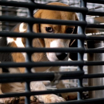 """A """"research dog"""" in its cage at Ridglan Farms, Inc."""