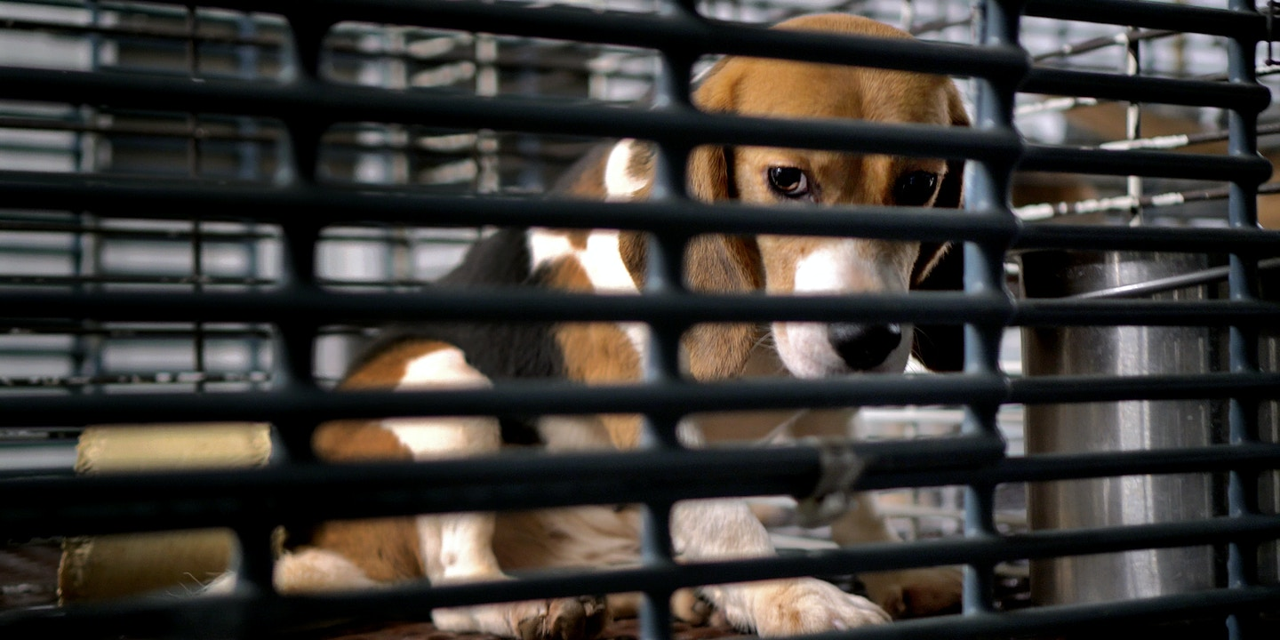 Inside the Barbaric U.S. Industry of Dog Experimentation 1