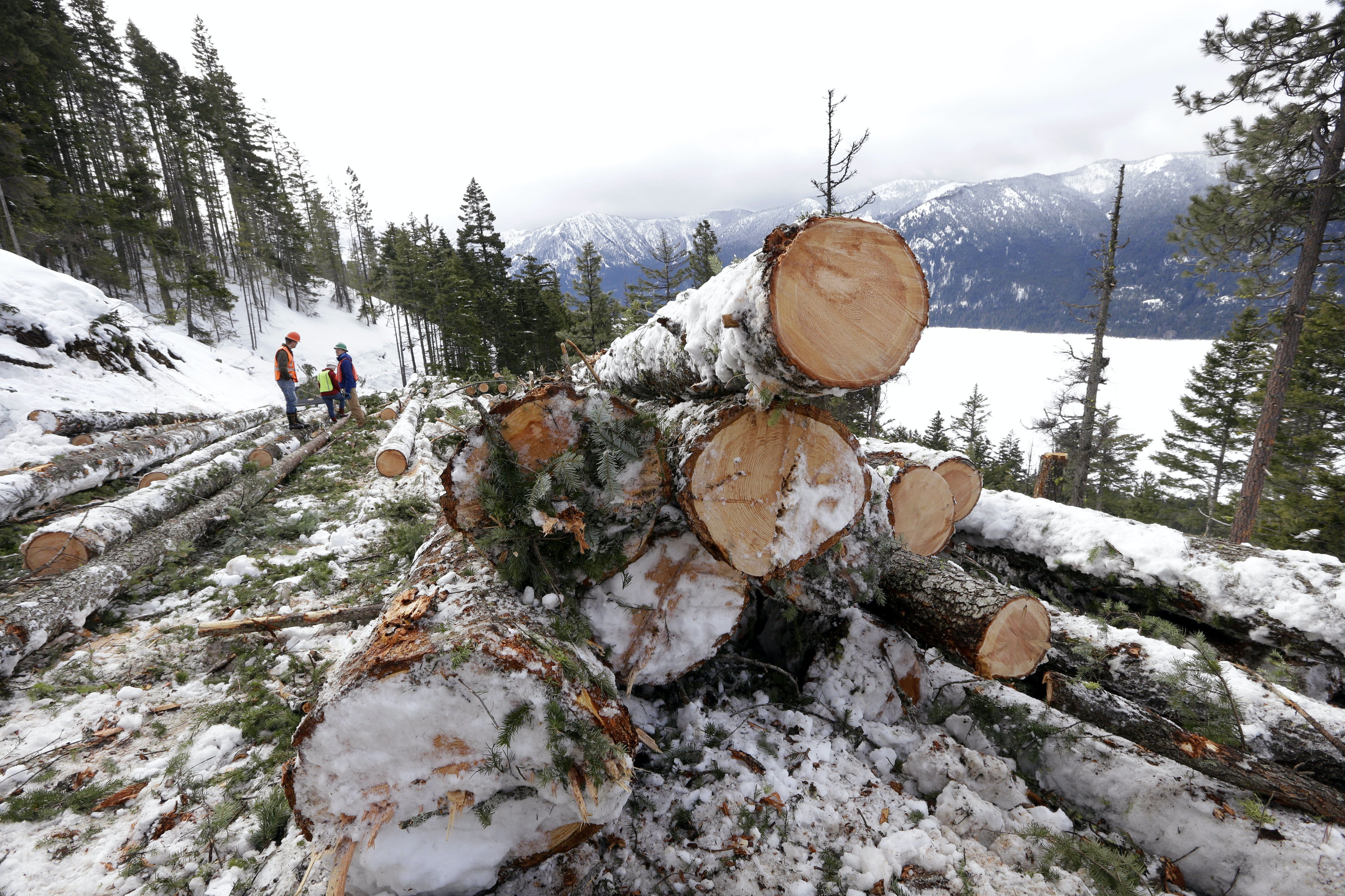 In this Feb. 22, 2017, photo, logs are stacked above Cle Elum Lake, where a crew is thinning a 100-acre patch on private land owned by the Nature Conservancy overlooking the lake, in Cle Elum, Wash. As part of a broader plan by the nonprofit environmental group to restore the pine forests of the Central Cascades so they are more resilient to wildfires and climate change, they're cutting down trees to save the forest. (AP Photo/Elaine Thompson)