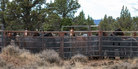 Wild horses from the Devils Garden Wild Horse Territory in the Modoc National Forest are contained in trap site pens.