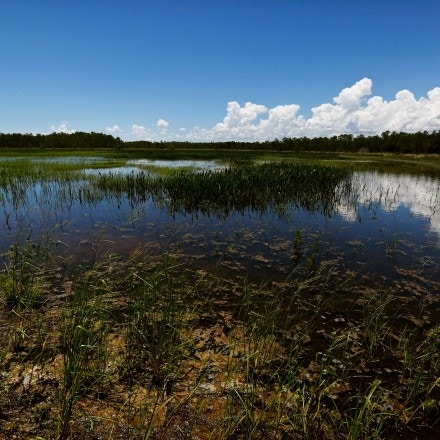 An emergent marsh reflects the sky at the Panther Island Mitigation Bank, Thursday, June 7, 2018, near Naples, Fla.  Panther Island's owners preserved one of the nation's last stands of virgin bald Cyprus, a place where wood storks, otters and other native flora and fauna have returned since they removed invasive plants. Experts say the Trump administration's move to redefine what constitutes a waterway under federal law is threatening a uniquely American effort to save wetlands from destruction.  (AP Photo/Brynn Anderson)
