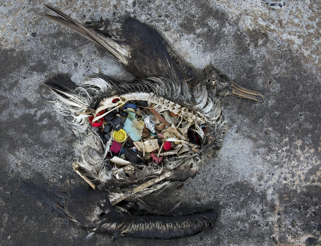 In this Nov. 2, 2014 photo provided by the U.S. Fish and Wildlife Service, a black footed albatross chick with plastics in its stomach lies dead on Midway Atoll in the Northwestern Hawaiian Islands. The remote atoll where thousands died is now a delicate sanctuary for millions of seabirds. Midway sits amid a collection of man-made debris called the Great Pacific Garbage Patch. Along the paths of Midway, there are piles of feathers with rings of plastic in the middle - remnants of birds that died with the plastic in their guts. Each year the agency removes about 20 tons of plastic and debris that washes ashore from surrounding waters. (Dan Clark/USFWS via AP)