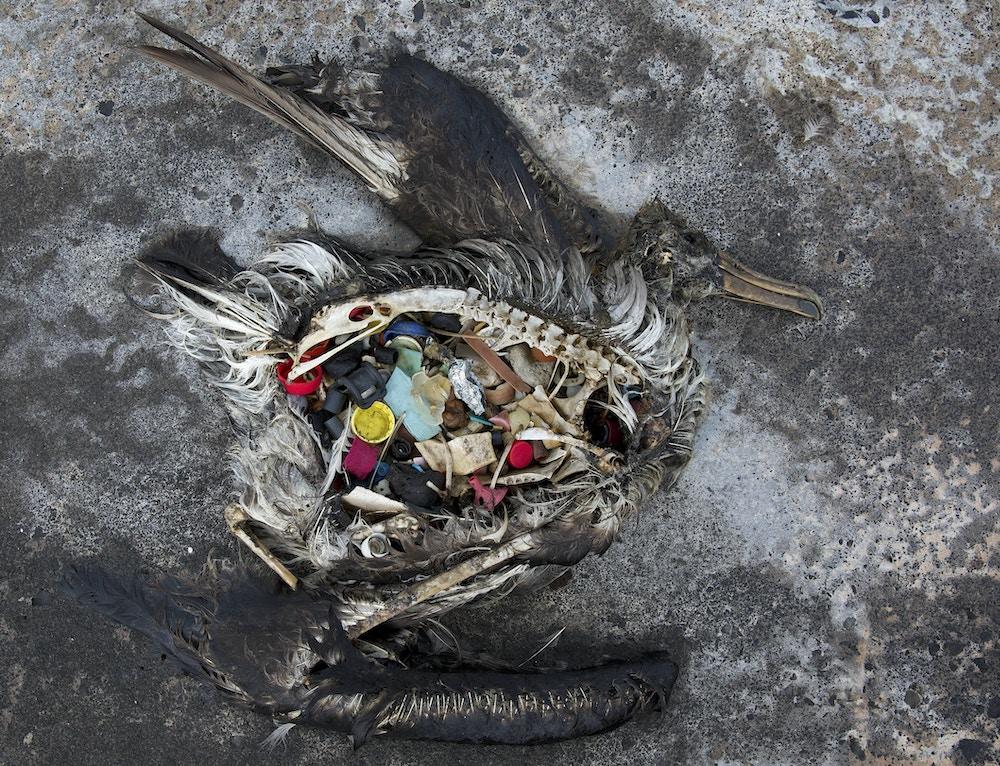 Um albatroz com plástico em seu estômago é mostrado morto no Atol Midway, nas Ilhas de Sotavento no Havaí em 2 de novembro de 2014.
