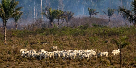 TOPSHOT - Cattle graze with a burnt area in the background after a fire in the Amazon rainforest near Novo Progresso, Para state, Brazil, on August 25, 2019 - Brazil on Sunday deployed two C-130 Hercules aircraft to douse fires devouring parts of the Amazon rainforest, as hundreds of new blazes were ignited and a growing global outcry over the blazes sparks protests and threatens a huge trade deal. (Photo by Joao Laet / AFP)        (Photo credit should read JOAO LAET/AFP/Getty Images)