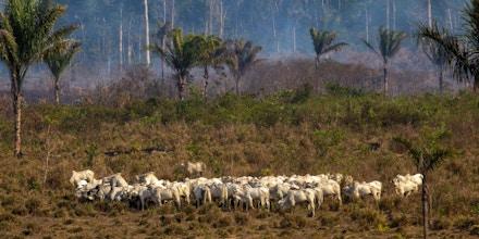 Gado pasta próximo a um local de incêndio recente no estado Pará, na floresta amazônica, em 25 de agosto de 2019.