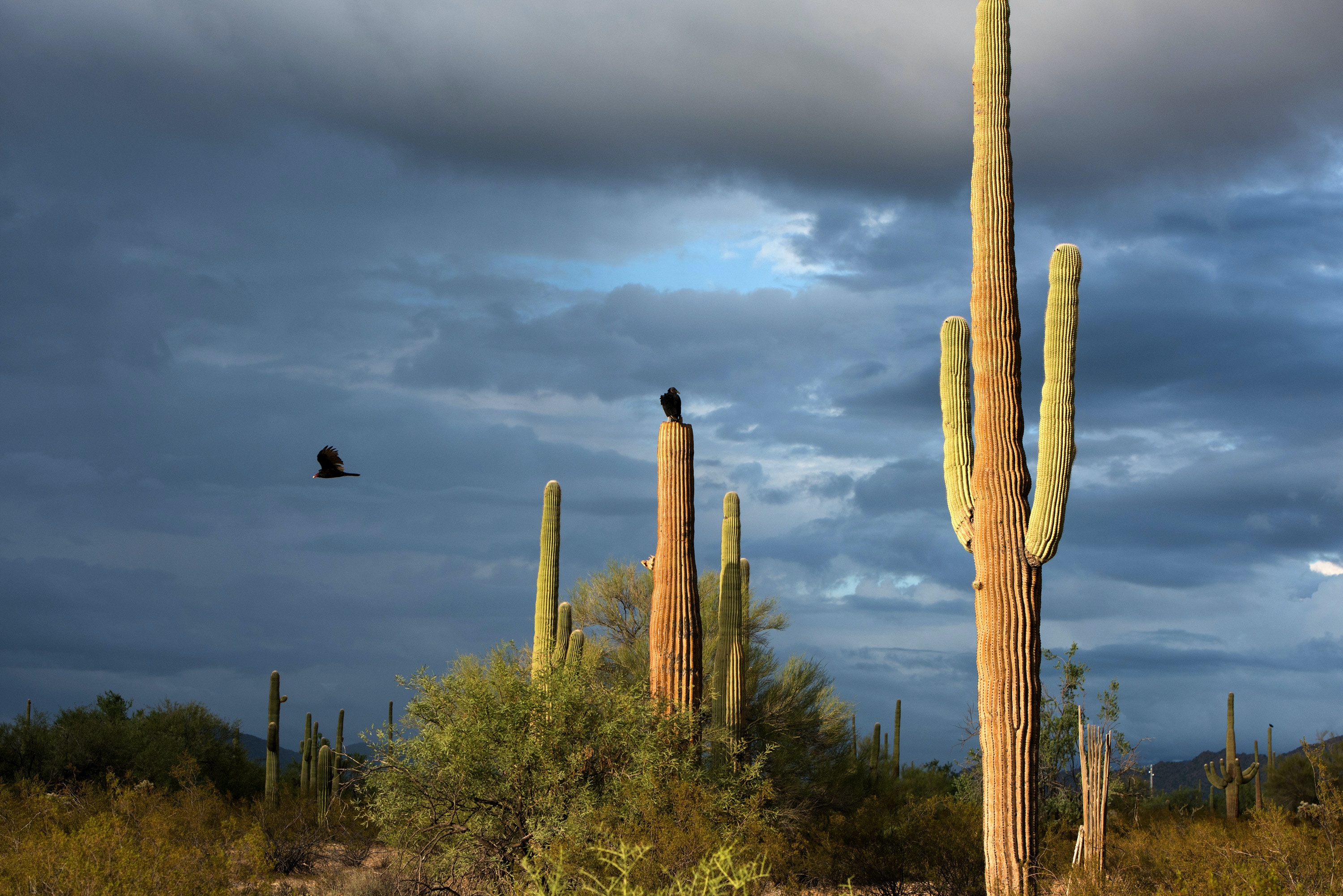 Organ Pipe, Ariz. September 26, 2019: Birds take advantage of a moment of respite from the unseasonable inclement weather to the west of Lukeville, Ariz. on Thursday September 26, 2019. (Ash Ponders for The Intercept)