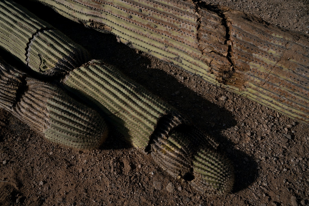 Saguaro cacti are strewn across the landscape next to the the U.S. Mexico border wall in Organ Pipe Cactus National Monument on November 9, 2019 after being bulldozed to make room for the border wall.   Photo by Kitra Cahana/MAPS for The Intercept