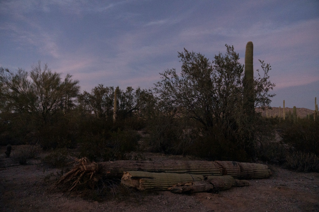 Saguaro cacti are strewn across the landscape next to the the U.S.-Mexico border wall in Organ Pipe Cactus National Monument on November 9, 2019 after being bulldozed to make room for the border wall. Photo by Kitra Cahana/MAPS for The Intercept