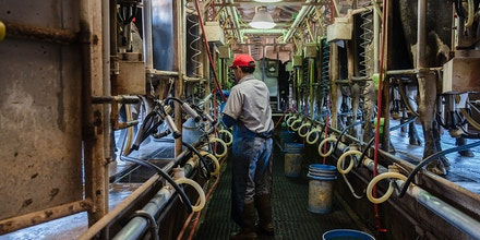 Raul (Che) Pedroza Cedillo milks Holstein cows at Frank Konyn Dairy Inc., on April 16, 2020, in Escondido, California. - The farm is operated and owned by Frank and Stacy Konyn who are lifelong farmers, however, the Konyn's income has dropped 40 percent since the Coronavirus pandemic. The farm took a financial hit since the restaurants are not open but they have not let go of any employees since the cows still need to be fed, milked and provided with medical attention. (Photo by ARIANA DREHSLER / AFP) (Photo by ARIANA DREHSLER/AFP via Getty Images)