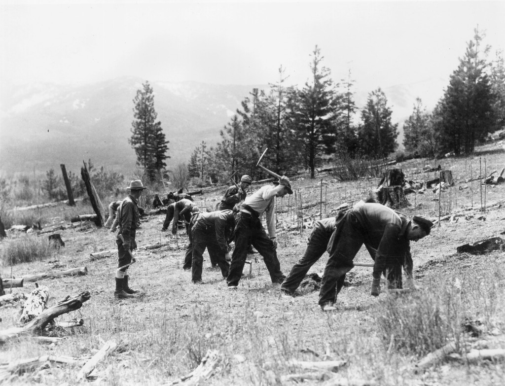 A group of men planting trees during a Civilian Conservation Corps (CCC) project on the Nett Lake Reservation in Minnesota.    (Photo by MPI/Getty Images)