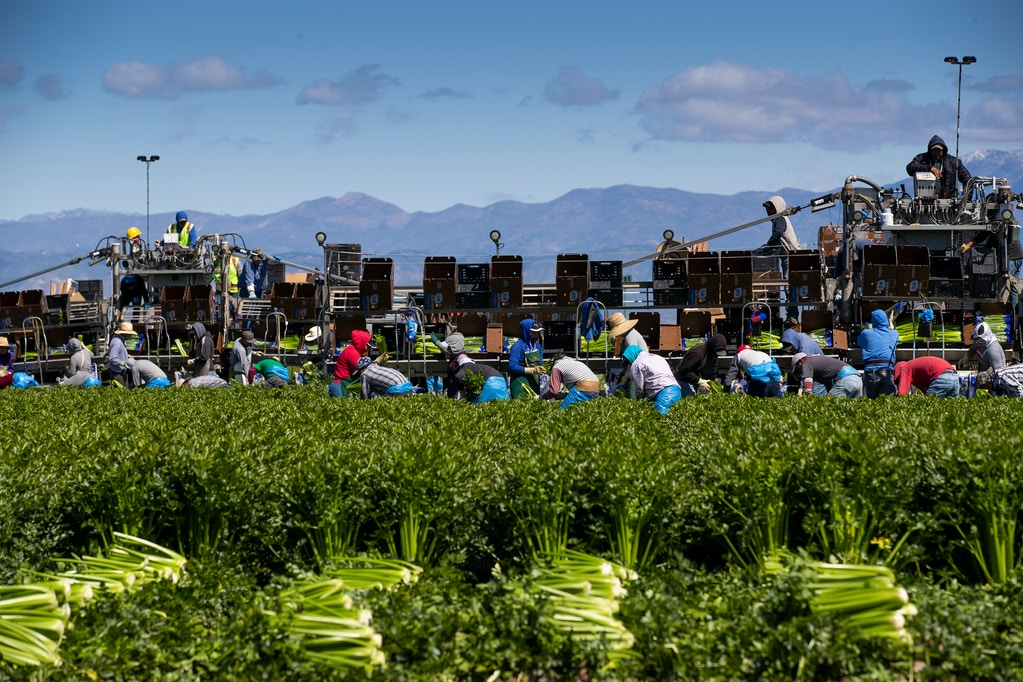 Agricultural workers from Bud Farms harvest celery for both American and export consumption on March 26, 2020 in Oxnard, California.
