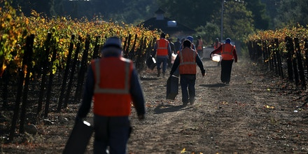 Field workers with Palo Alto Vineyard Management prepare to harvest Syrah grapes on October 25, 2017, in Kenwood, California.