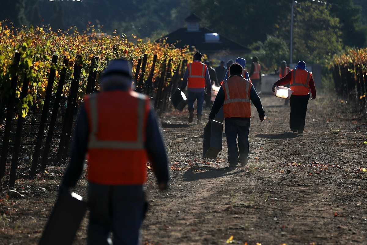 In California's Wine Country, Undocumented Grape Pickers Forced to Work in Fire Evacuation Zones