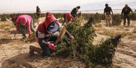 Workers cut hemp plants during a harvest at the KHMP, a division of Crossroads AG, farm near Cheyenne Wells, Colorado, U.S., on Wednesday, Oct. 14, 2020. October usually heralds the harvest of outdoorcannabisplants, affectionately known as