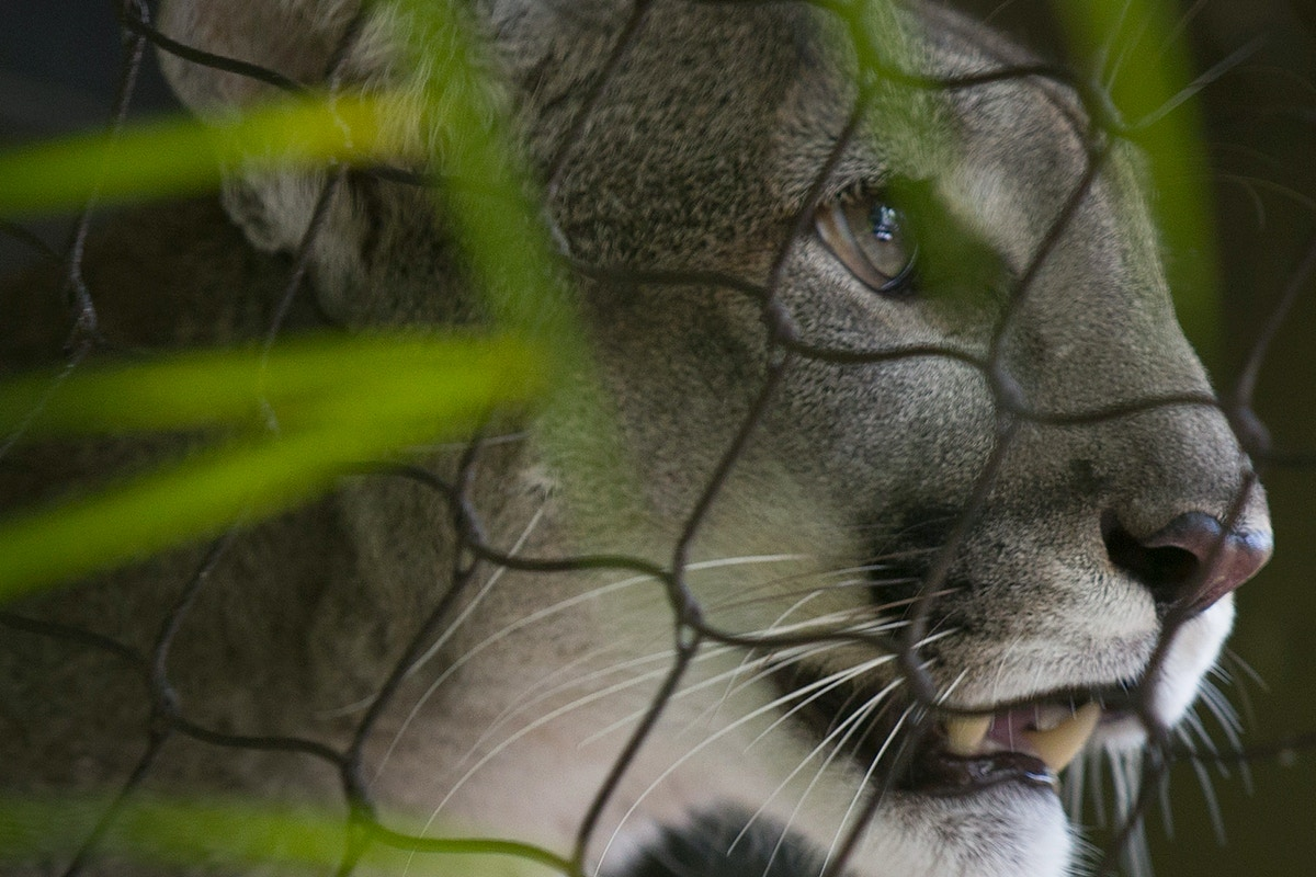 Money and Politics Could Doom the Florida Panther — and the Endangered Species Act