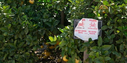 A sign warns of the application of the pesticide Lorsban (Chlorpyrifos) in orange grove in Woodlake, California on June 26, 2012.